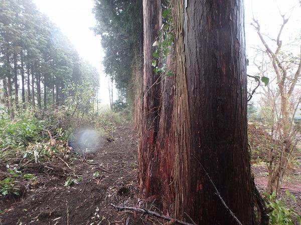 ヒノキの木伐採