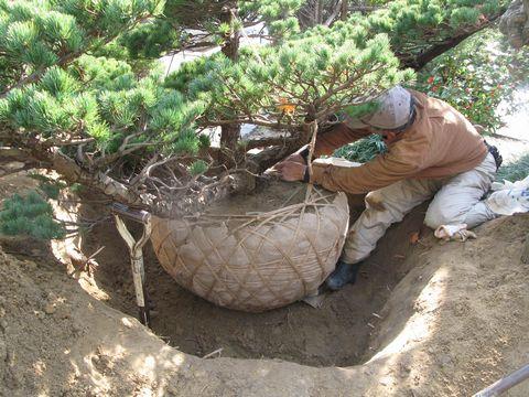 五葉松の移植と修景 (樹木剪定 植栽管理 移植 植栽デザイン)
