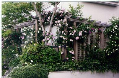 ローズガーデンにラチス  (ローズガーデン 木製ラチス ウッドフェンス バラの庭)箕面