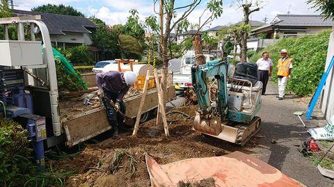 街路樹の植え替え(奈良県五條市) クスノキ、ヒラドツツジ