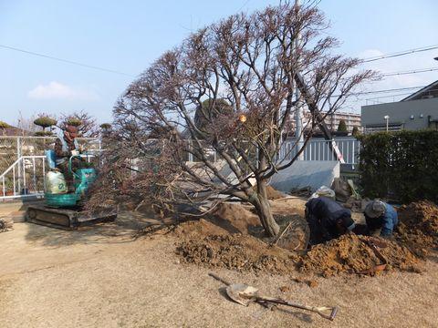 モミジの場内移植 (樹木剪定 植栽管理 移植 植栽デザイン 造園デザイン)