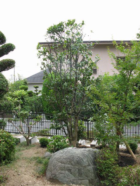 適期外の移植(初夏の常緑樹 樹木剪定 植栽管理 移植 植栽デザイン)