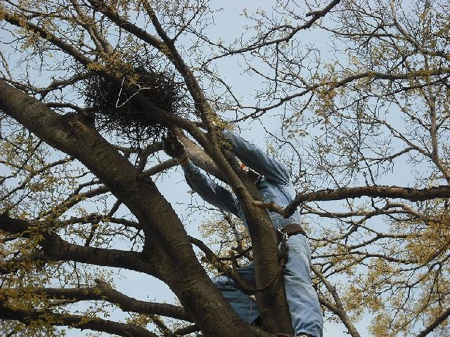 カラス巣の撤去