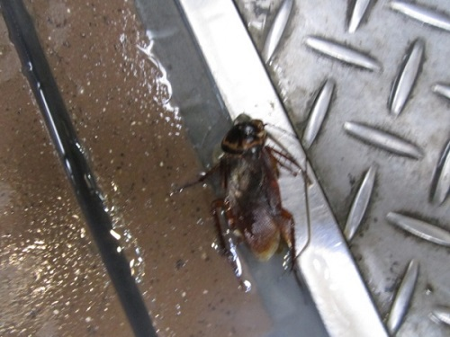 埼玉県熊谷市 ワモンゴキブリの駆除(薬剤処理)
