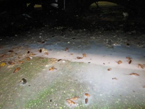 東京都足立区 チャバネゴキブリの駆除(薬剤処理)