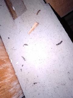 千葉県香取市 コウモリの調査