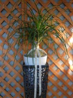 ドラセナノリナ8寸陶器