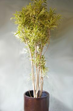 ソングオブインディア(鉢カバー別)