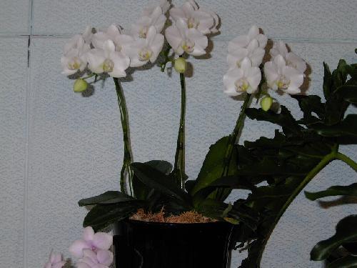胡蝶蘭「アマビリス」