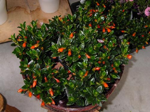 金魚の木「ヒポシルタ」