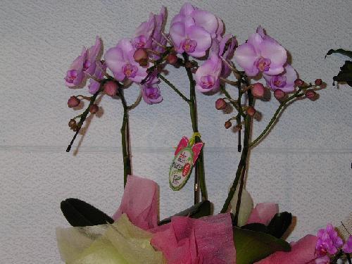 プリンセツ桜