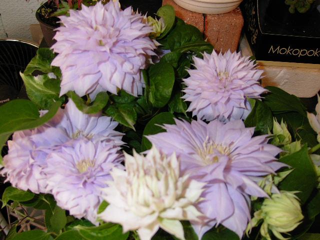 八重咲きのテッセン。