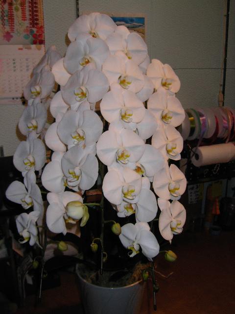 お祝いの胡蝶蘭。