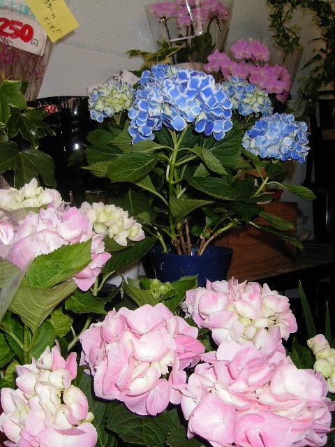 母の日にアジサイやミニ胡蝶蘭などなど。
