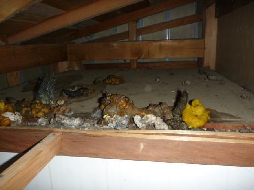 住みつかれた屋根(天井)裏・床下は、糞・尿が山積みに!