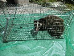 千葉県千葉市 ハクビシン防除施工、捕獲作業