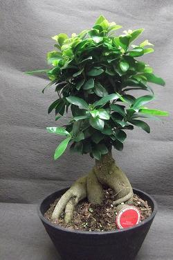 観葉植物 ガジュマル