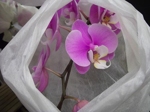 ra013 ピンクと中が白い蘭