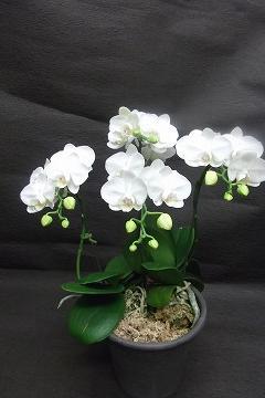 ra024 ミニ胡蝶蘭 アマビリス