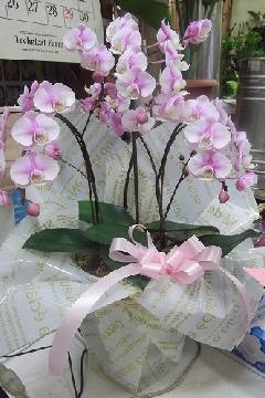ra022 ミニ胡蝶蘭