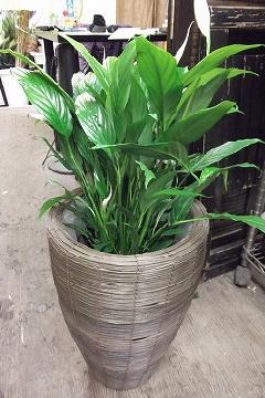観葉植物 籠入りスパティフィラム