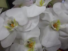 ra016 白胡蝶蘭
