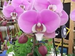 ra006 胡蝶蘭3本ピンク顔中白