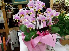 ra004 ピンクの5本 小ぶり胡蝶蘭