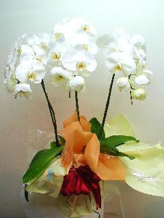 胡蝶蘭 3本立 ホワイト(30輪以上)