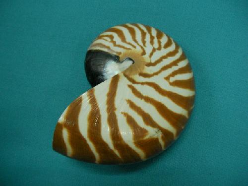 天然貝飾り(オウム貝(S)・約8−10cm)