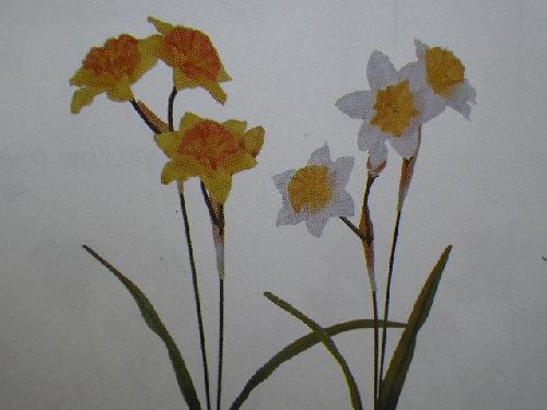 ラッパ水仙×4(花径8cm・単色36本入り)MY5529W