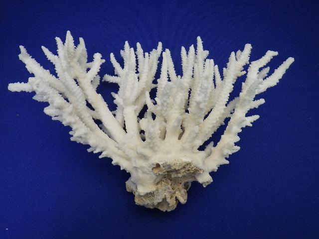 天然サンゴ飾り197(テーブルサンゴS・w13�p)