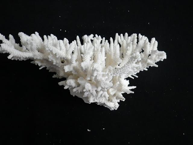 天然サンゴ飾り252(テーブルサンゴM・w20�p)