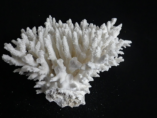 天然サンゴ飾り262(テーブルサンゴL・w20�p)