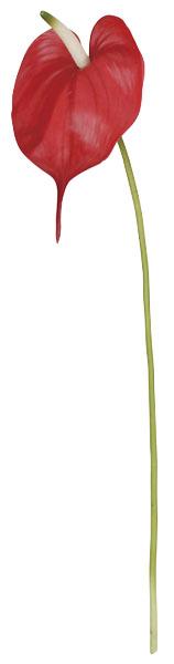 トロピカルアンスリウム(レッド花径22cm全長73cm)FLS5109