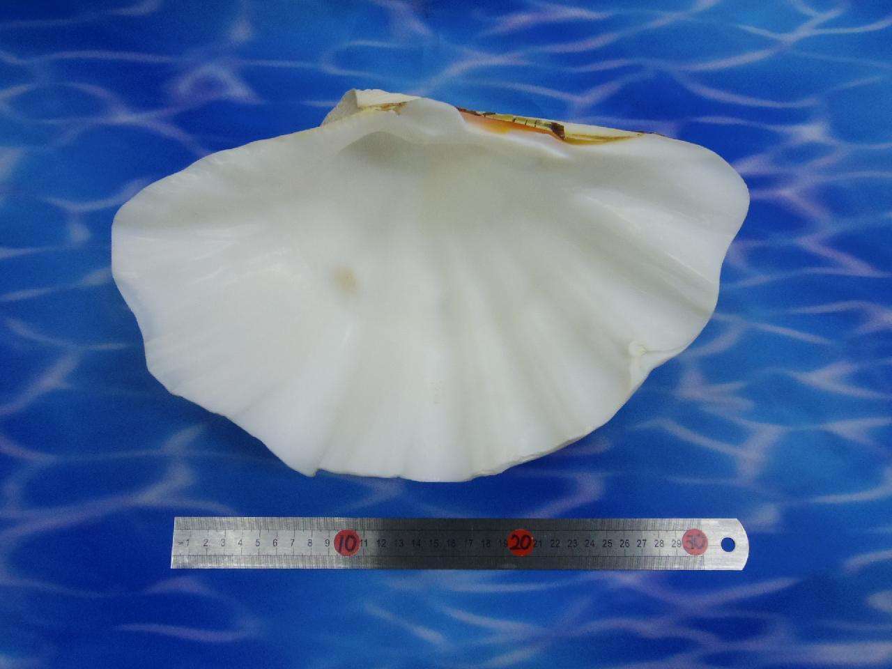 天然シェル飾り(シャコ貝・W約32cm)