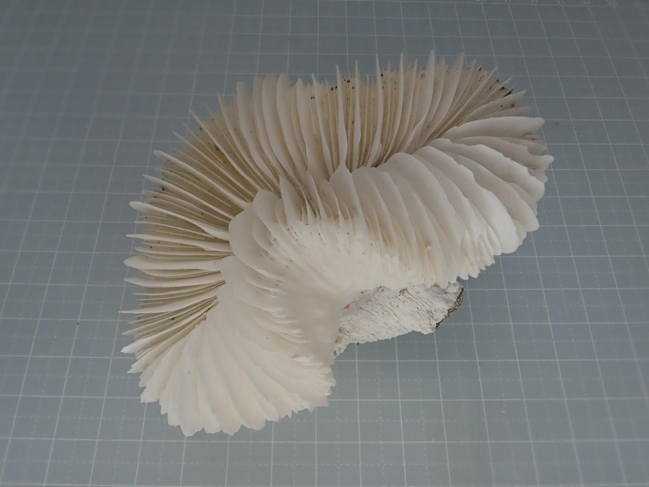サンゴスモールタイプ(442)