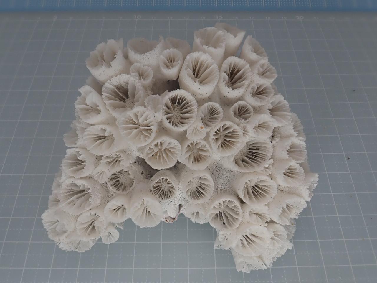 サンゴスモールタイプ(443)