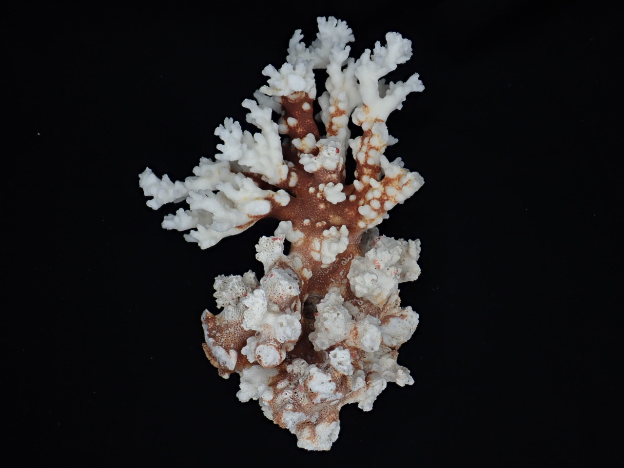 天然サンゴ飾り(サンゴw21cm)  445