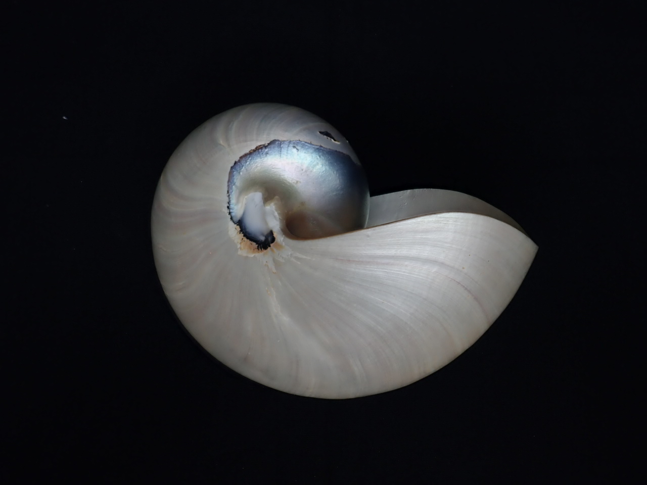 パールオウム貝12cm