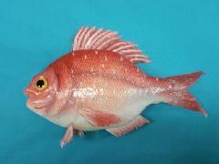食品ディスプレイ魚(鯛)[コンビニ後払い場合有り]
