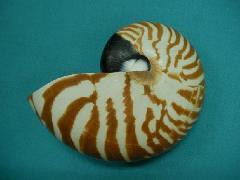 天然貝飾り(オウム貝(M)・約10−12cm)