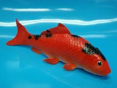 魚ディスプレイ鯉(赤/黒)21cm・ゴム製