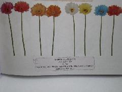 スイートガーベラ(花径11cm・単色36本入り)YK3902N
