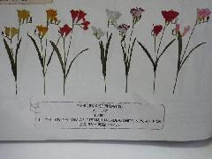 フリージア(花径1〜4cm・単色36本入り)YK4028W