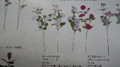 販促用造花(エネミーローズ)単色48本入り{MY5381W}
