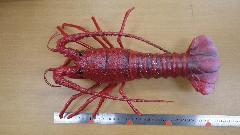 魚ディスプレイ(イセエビ・伊勢海老40cm塩ビ製)