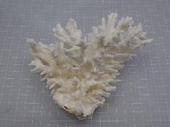 天然サンゴ飾り424(テーブルサンゴ S)