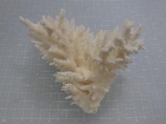 天然サンゴ飾り429(テーブルサンゴ S)