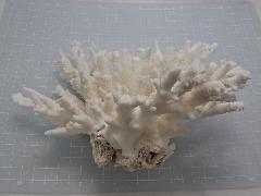 天然サンゴ飾り435(テーブルサンゴ M)